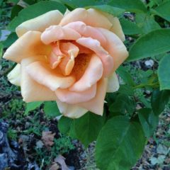 The Sandwich Generation granny nanny does love to see roses on a walk