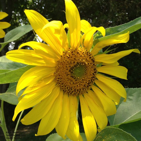 The Sunflower House this year is more of a wall due to weather and health - but the grandkids and senior mom love them all
