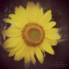 FUN - my senior moms gardening activities are producing these lovely sunflowers for the sporadic sunflower house