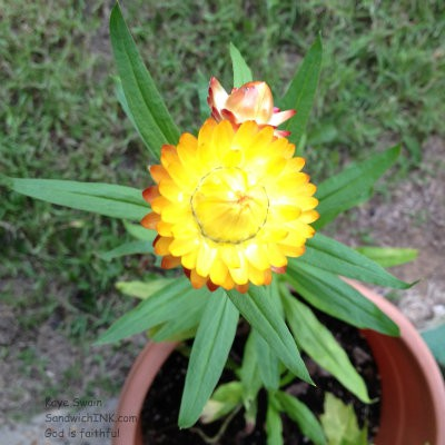 My Sandwich Generation family thinks this Strawflower is so cute