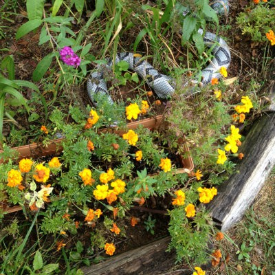 The sunflower house is gone but the butterfly bush and marigolds are doing grand