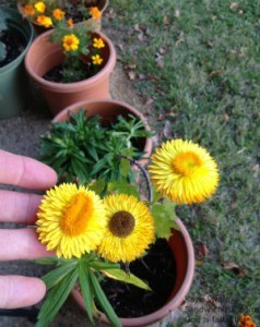 My senior moms strawflowers made her gardening acivities even more fun this fall - autumn bliss