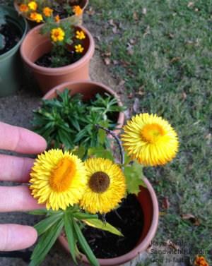 My senior moms strawflowers made her gardening acivities even more fun this fall - autumn bliss