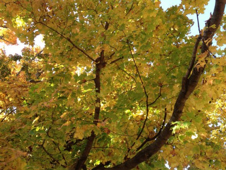 One of the few trees with leaves on it to bless the heart of the Sandwich Generation granny nanny enjoying fall and autumn bliss