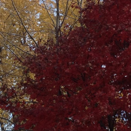 Speaking of red - check out these lovely colors at the end of a delightful autumn and fall season for the Sandwich Generation granny nanny