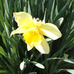 Daffodils mean spring is finally on its way for the Sandwich Generation granny nanny and senior mom - not to mention our sweet grandchildren