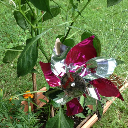 My senior moms gardening activities include creative critter guards like this pink and silver pinwheel and the marigold guarding her peppers