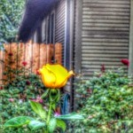 I love the roses I spotted while on vacation in Roseville California in placer County near Sacramento County CA