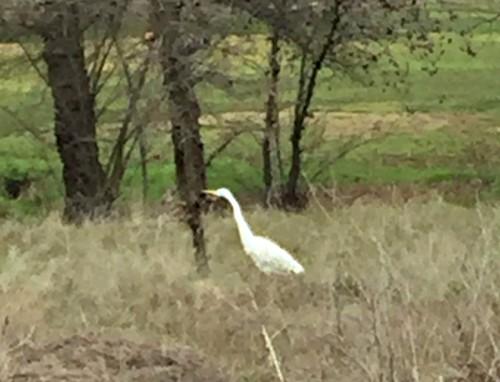 Kaye Swain Roseville CA real estate agent blogger shares egret by walking trails