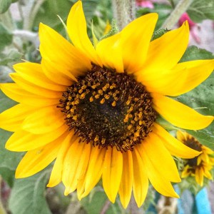 Roseville Real Estate Agent Kaye Swain shares senior gardening sunflowers smiles