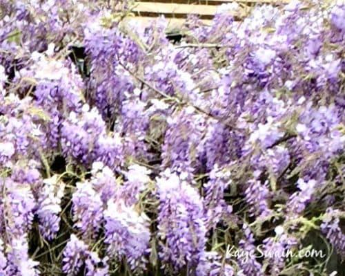 Roseville REALTOR Kaye Swain shares wisteria joys