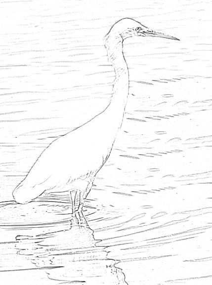 Egret Coloring Pages From Walking Trails Joys For Seniors And Boomers